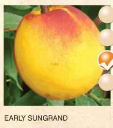 early sungrand nektarina-sadnice-agrokalemplod_3
