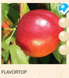 flavortop nektarina-sadnice-agrokalemplod_2