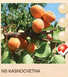 ns kasnocvetna nektarina-sadnice-agrokalemplod_1